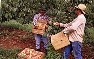 : Saunders peach pick 90 Ripley
