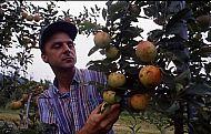: Saunders Damage apples 92 Riple