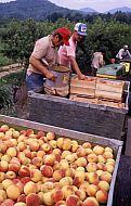 : Saunders peach pickin